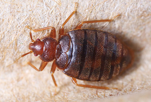 bed bugs control in delhi